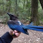 Steller's Jay that has been fitted with a radio-transmitter to track its movements and has been banded with a unique color combination, so it can be identified in the future without having to be re-captured.