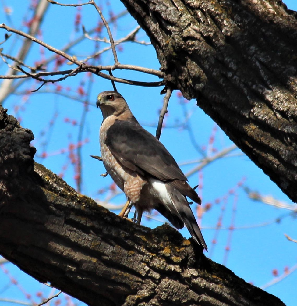 A Cooper's hawk (Accipiter cooperi) in an urban nature conservancy. Prey abundance seems to be the driving factor in their colonization and persistence in urban areas. Photo: Ashley Olah 2014.