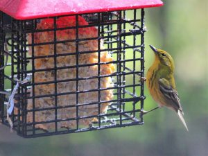 A pine warbler (Setophaga pinus) visits a suet feeder in a residential backyard. Abundance of songbird species visiting bird feeders affects where accipiter hawks colonize and persist in urban areas. Photo: Ashley Olah 2014.