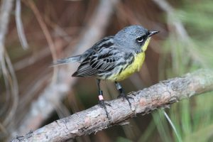 Figure 2 Male Kirtland's warbler. (c) Ashley Olah 2016