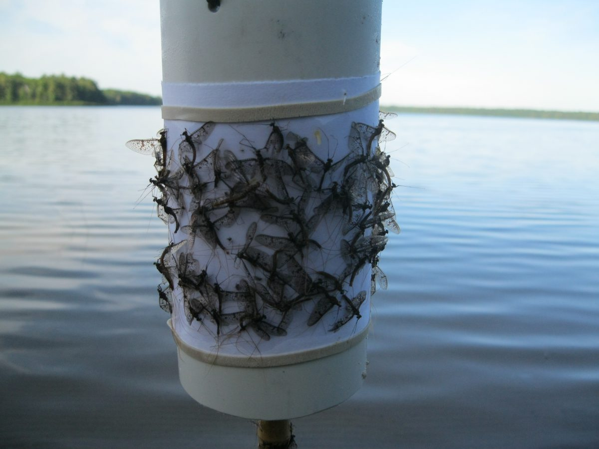 Mayfly emergence resulted in an increase in flying insect abundance in late June and early July.